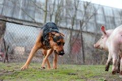 zaskakująca psia świnia zdjęcia royalty free