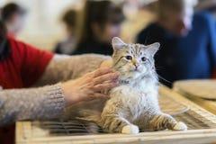 Zaskakujący bezdomny samotny puszysty kot z przelękłym spojrzeniem, kłama na klatce w schroniskowym czekaniu dla domowy adoptować fotografia royalty free