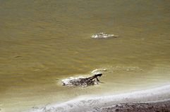 Zaskorupiać się gałązki na brzeg słone jezioro obraz royalty free