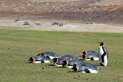 Zaszalować królewiątko pingwiny, aptenodytes patagonicus, Saunders, Falkland wyspy obraz royalty free