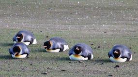 Zaszalować królewiątko pingwiny, aptenodytes patagonicus, Saunders, Falkland wyspy zdjęcia stock