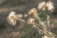 Zatarci łopianowi prickles z pajęczynami, zdjęcia royalty free