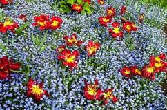Zatarci czerwoni tulipany Obrazy Royalty Free