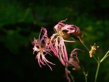 Zatarci dzicy goździków kwiaty Obrazy Royalty Free