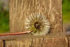 zatarty dandelion Fotografia Stock