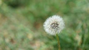 Zatarty dandelion drży w wiatrze zbiory wideo
