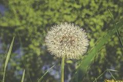 Zatarty dandelion kwiat z rocznika skutkiem Obrazy Stock