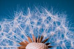 Zatarty Dandelion w błękicie Obrazy Stock