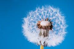 Zatarty Dandelion w błękicie Zdjęcie Royalty Free