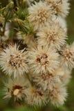 Zatarty dziki dandelion fotografia royalty free