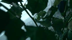 Zatarty kwiat róż stojak w wazie zbiory wideo
