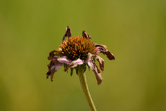 Zatarty purpurowy coneflower (Echinacea) Obraz Royalty Free