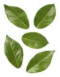 zatoka liście