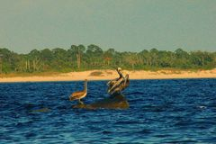 Zatoka Meksykańska pelikany siedzi na skałach malowniczych obraz stock