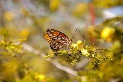 Zatoki Fritillary Agraulis motyli vanillae na żółtym kwiacie Zdjęcie Stock