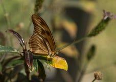 Zatoki fritillary, Agraulis vanillae, motyl Obraz Royalty Free