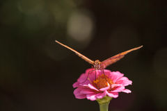 Zatoki fritillary, Agraulis vanillae, motyl Fotografia Royalty Free