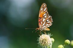 Zatoki Fritillary motyl (Agraulis vanillae) Zdjęcie Royalty Free