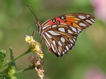 Zatoki Fritillary motyl - Agraulis vanillae Zdjęcie Stock
