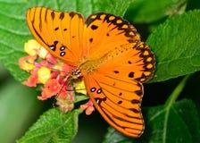 Zatoki Fritillary motyl i Lantana flo - Agraulis vanillae - Fotografia Stock