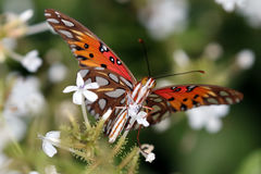 Zatoki Fritillary motyl na Plumbago kwiatach Obraz Royalty Free