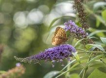 Zatoki fritillary, pasyjny motyl Zdjęcia Royalty Free