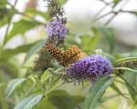 Zatoki fritillary, pasyjny motyl Fotografia Stock
