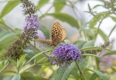 Zatoki fritillary, pasyjny motyl Fotografia Royalty Free
