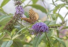 Zatoki fritillary, pasyjny motyl Obrazy Royalty Free