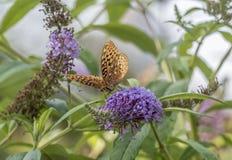 Zatoki fritillary, pasyjny motyl Obraz Royalty Free