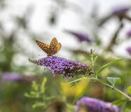 Zatoki fritillary, pasyjny motyl, Agraulis vanillae Fotografia Stock