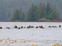 Zattera delle lontre di mare su un'isola vicina della primavera di giorno grigio, Columbia Britannica fotografia stock