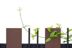 Zaun überwältigt mit Efeu Stockfotos