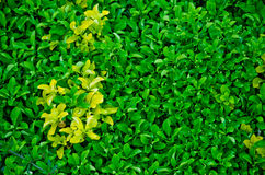 Zaun der immergrünen Hecke lizenzfreies stockfoto