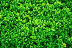 Zaun der immergrünen Hecke stockfotos