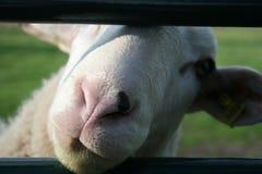 Zaun-Schafe Lizenzfreie Stockfotos