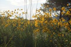 Zaun von gelben hohen Blumen, beleuchtet durch die Sonne Lizenzfreie Stockfotografie