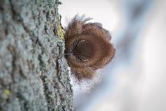 Zaunkönig auf dem Baumstamm Stockfotografie