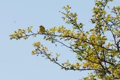 Zaunkönig auf einem Zweig Stockfotos