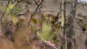 Zaunkönig in einem Busch stockbilder