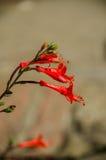 Zauschneria Califomnica Foto de archivo