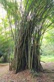 Zawijasa bambusa las Fotografia Stock