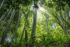 Zawijasa bambusowy las, Adgara, Gruzja Fotografia Royalty Free