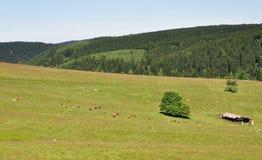 Zawodnik bez szans cattles Fotografia Stock