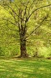 Zawodnik bez szans drzewo z dziurami Zdjęcia Stock