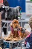 Zawody międzynarodowi psia kosmetyczna rywalizacja w Sant Antoni de Calonge w Hiszpania, 19 05 2018, Hiszpania Obrazy Stock