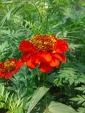 zawsze nawadniać kwiaty robi one kwitnąć pięknego obraz stock
