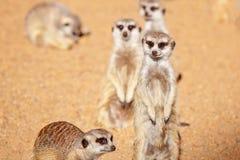 Zawsze Zuchwały I Aktywny Meerkats obraz stock