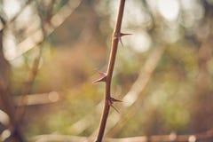 Zawzięci ciernie w krzaku Ostrze i groźni ciernie w roślinie z zaparciem obrazy stock