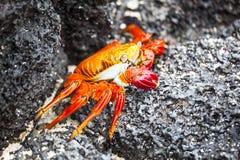 Zayapas crabs Stock Image